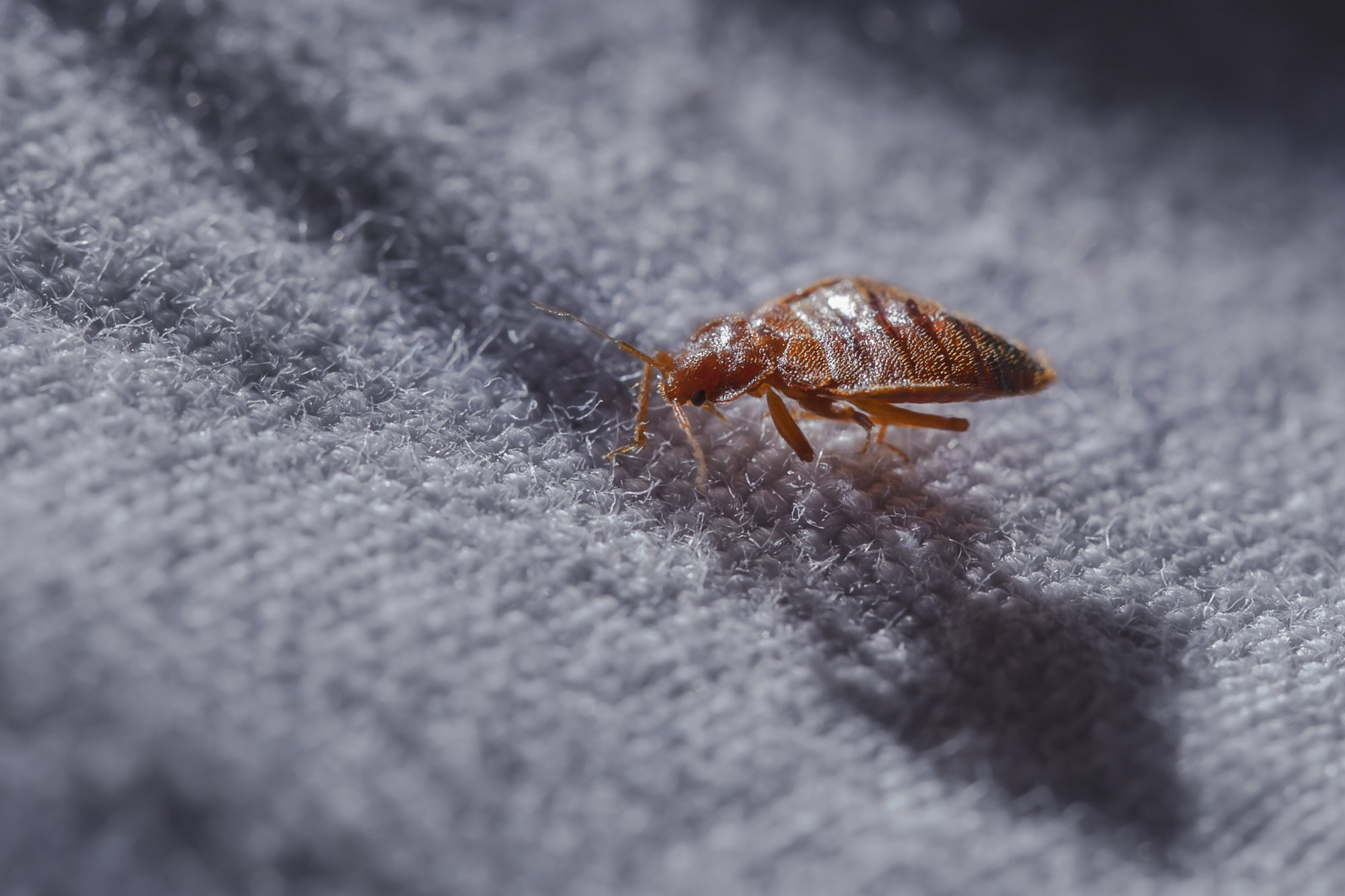 close up to a bed bug