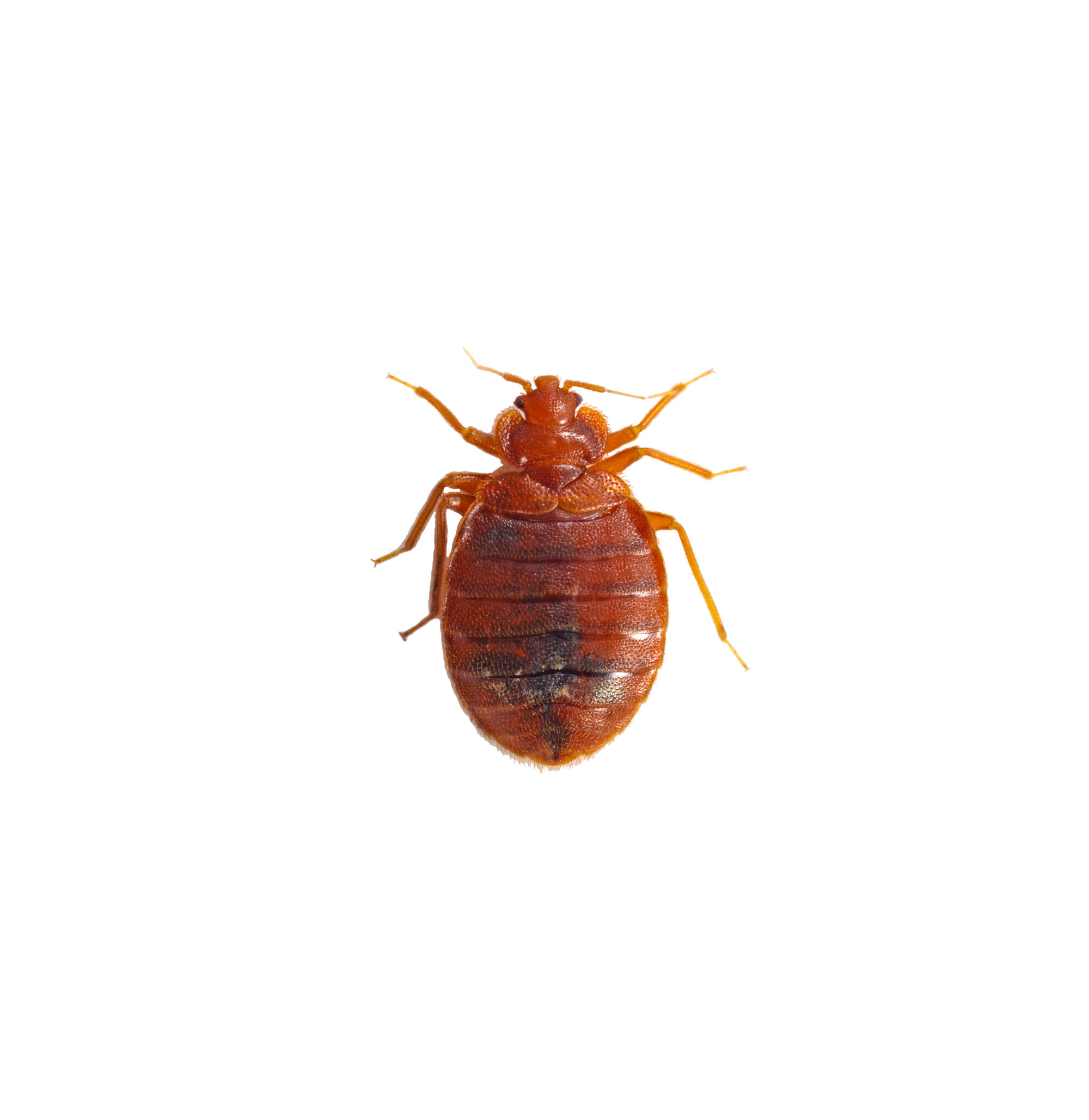 Bed bug white background